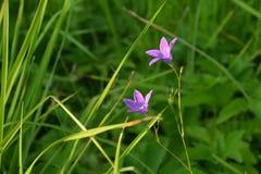 Δύο λουλούδια μιας πορφυρής χλόης λουλουδιών κουδουνιών την άνοιξη στον ήλιο σε ένα θολωμένο πράσινο υπόβαθρο στοκ φωτογραφία