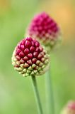 Δύο λουλούδια του σκόρδου Στοκ Εικόνες