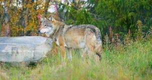 Δύο λύκοι σε ένα πακέτο λύκων που περπατά στο δάσος