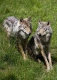 δύο λύκοι στοκ εικόνα