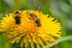 Δύο μέλισσες σε ένα λουλούδι πικραλίδων Στοκ Φωτογραφίες