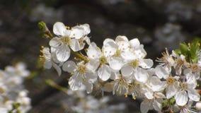 Δύο μέλισσες συλλέγουν το νέκταρ στα λουλούδια του άσπρου ανθίζοντας μήλου Anthophila, mellifera Apis φιλμ μικρού μήκους