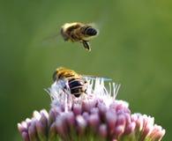Δύο μέλισσες Στοκ Εικόνα