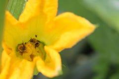Δύο μέλισσες ένα λουλούδι Στοκ Φωτογραφία