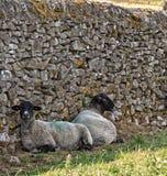 Δύο μαυροκέφαλα πρόβατα του Σάφολκ, υπόλοιπο στη σκιά ενός τοίχου ξηρών πετρών στοκ φωτογραφία
