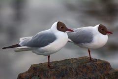 Δύο μαυροκέφαλοι γλάροι είναι σχεδόν όμοιοι μεταξύ τους Στοκ εικόνα με δικαίωμα ελεύθερης χρήσης