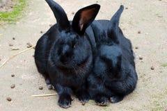 Δύο μαύρα κουνέλια Στοκ φωτογραφία με δικαίωμα ελεύθερης χρήσης