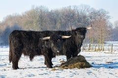 Δύο μαύρα σκωτσέζικα highlanders στο χειμερινό χιόνι Στοκ Εικόνα