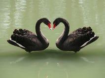 Δύο μαύροι κύκνοι που διαμορφώνουν μια καρδιά Στοκ Εικόνα