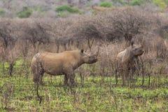 Δύο μαύροι ρινόκεροι Στοκ Εικόνα