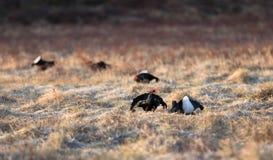 Δύο μαύρος αγριόγαλλος στο μέτωπο και τρία άλλος μαύρος αγριόγαλλος μαλακός στο υπόβαθρο, την άνοιξη, Απρίλιος, στη Νορβηγία Στοκ φωτογραφία με δικαίωμα ελεύθερης χρήσης