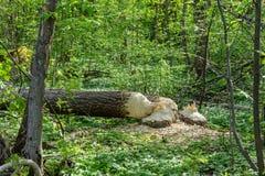 Δύο μεγάλα δέντρα που περιορίζουν από τους κάστορες στοκ φωτογραφία