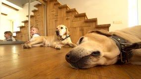 Δύο μεγάλα σκυλιά και λίγο αγοράκι στο ξύλινο πάτωμα στο σπίτι r απόθεμα βίντεο
