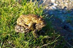 Δύο μεγάλοι βάτραχοι bask στον ήλιο Στοκ Εικόνες