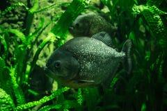 Piranha υποβρύχιο Στοκ εικόνα με δικαίωμα ελεύθερης χρήσης
