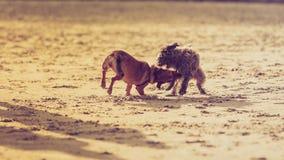 Δύο μιγία σκυλιά που παίζουν μαζί στην παραλία Στοκ Φωτογραφία