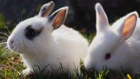 Δύο μικρά άσπρα κουνέλια στην πράσινη χλόη την άνοιξη απόθεμα βίντεο