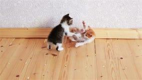 Δύο μικρά γατάκια που παίζουν το ένα με το άλλο τις μικρές γάτες πάλης απόθεμα βίντεο