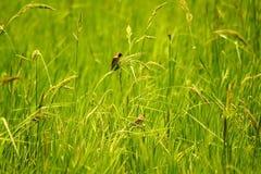 Δύο μικρά πουλιά είναι στους ορυζώνες ρυζιού Στοκ Εικόνες