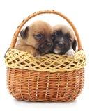 Δύο μικρά σκυλιά σε ένα καλάθι Στοκ Εικόνες