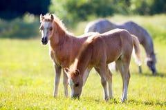 Δύο μικρά foals στον τομέα Στοκ φωτογραφίες με δικαίωμα ελεύθερης χρήσης