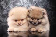 Δύο μικρά spitz Pomeranian κουτάβια στοκ εικόνες