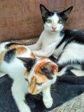 Δύο μικρές άγριες γάτες Στοκ Εικόνες
