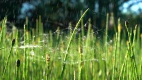 Δύο μικρές αράχνες σε έναν ελαφρύ Ιστό κατά τη διάρκεια μιας ψιλής βροχής σε μια πράσινη αλογουρά μια ηλιόλουστη ημέρα φιλμ μικρού μήκους