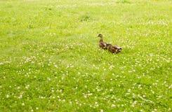 Δύο μικρές πάπιες σε έναν πράσινο τομέα τριφυλλιού στοκ εικόνες