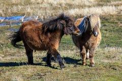 Δύο μικροσκοπικά άλογα που αλληλεπιδρούν το ένα με το άλλο Στοκ Εικόνες