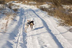 Δύο μικτά σκυλιά φυλής που χαράζουν το ένα το άλλο σε μια εθνική οδό Στοκ Φωτογραφίες
