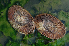 Δύο μισά μιας παλαιάς καρύδας βρίσκονται διαγώνια σε μια λακκούβα, το νερό είναι ένα βεραμάν χρώμα με τα φύλλα και το ωίδιο, μια  Στοκ εικόνες με δικαίωμα ελεύθερης χρήσης
