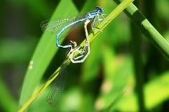 Δύο μπλε λιβελλούλες ζευγαρώνουν σε ένα φύλλο Στοκ φωτογραφία με δικαίωμα ελεύθερης χρήσης
