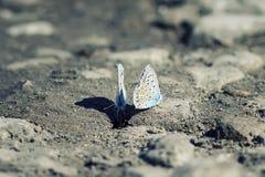 Δύο μπλε πεταλούδες που κάθονται στο έδαφος Στοκ εικόνα με δικαίωμα ελεύθερης χρήσης
