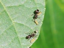 Δύο μυρμήγκια που τείνουν λίγα aphids στο φύλλο Στοκ Φωτογραφίες