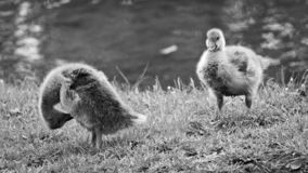 Δύο μωρά χήνων σε BÃ ¼ rgerpark, Braunschweig στοκ φωτογραφία