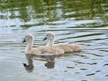 Δύο μωρό Signets στον ποταμό - μαζί δίπλα-δίπλα στοκ φωτογραφία με δικαίωμα ελεύθερης χρήσης
