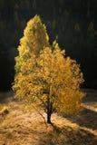 Δύο μόνα δέντρα το πρόωρο πρωί φθινοπώρου, που φωτίζεται από την πλευρά στοκ φωτογραφία με δικαίωμα ελεύθερης χρήσης