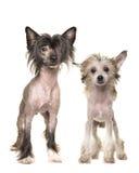 Δύο μόνιμα γυμνά κινεζικά λοφιοφόρα σκυλιά Στοκ φωτογραφία με δικαίωμα ελεύθερης χρήσης