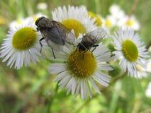 Δύο μύγες που κάθονται camomile στο λουλούδι Στοκ φωτογραφίες με δικαίωμα ελεύθερης χρήσης