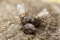 Δύο μύγες που σκαρφαλώνουν επάνω και που απορροφούν τα μεταλλεύματα στην κοπριά στο UK στοκ φωτογραφία με δικαίωμα ελεύθερης χρήσης