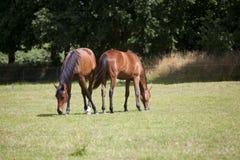 Δύο νέα άλογα τρώνε τη χλόη Στοκ Φωτογραφία