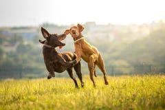 Δύο νέα αστεία χαριτωμένα σκυλιά - ουγγρικό με κοντά μαλλιά σκυλί υπόδειξης στοκ φωτογραφία με δικαίωμα ελεύθερης χρήσης