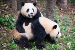 Δύο νέα γιγαντιαία pandas που παίζουν από κοινού Στοκ φωτογραφία με δικαίωμα ελεύθερης χρήσης