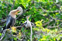 Δύο νέα πουλιά Anhinga στον υγρότοπο Στοκ φωτογραφία με δικαίωμα ελεύθερης χρήσης
