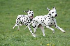 Δύο νέα όμορφα δαλματικά σκυλιά στοκ εικόνα