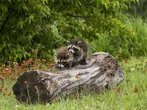 Δύο νέα racoons που ερευνούν ένα κούτσουρο Στοκ Φωτογραφίες
