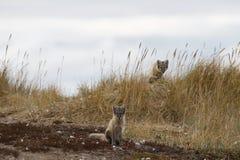 Δύο νέες αρκτικές αλεπούδες, Vulpes Lagopus, στα χρώματα πτώσης με τη μια που κρύβει πίσω από τη χλόη, κοντά στο κρησφύγετό τους Στοκ Φωτογραφίες