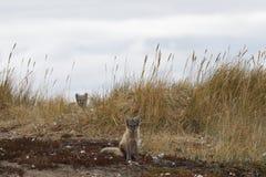 Δύο νέες αρκτικές αλεπούδες, Vulpes Lagopus, στα χρώματα πτώσης με τη μια που κρύβει πίσω από τη χλόη, κοντά στο κρησφύγετό τους Στοκ φωτογραφία με δικαίωμα ελεύθερης χρήσης