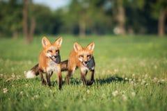 Δύο νέες αλεπούδες που περπατούν στη χλόη Στοκ εικόνα με δικαίωμα ελεύθερης χρήσης